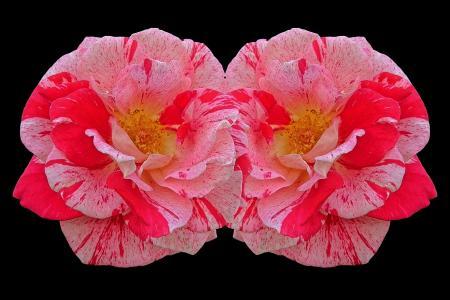玫瑰, 多颜色, 红色, 粉色, 玫瑰绽放, 花, 美