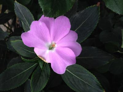 中提琴, 紫色, 花, 美, 植物, 花瓣