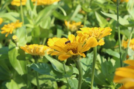 花, 蜜蜂, 矢车菊