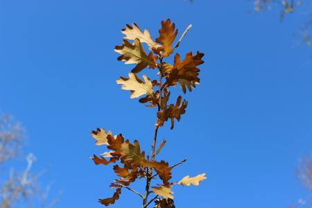 干枯的树叶, 叶子, 秋天, 天空, 蓝蓝的天空, 黄树, 晴朗的秋日