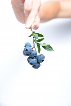 蓝莓, 水果, 蓝色, 人类的手, 人类身体的一部分, 一个人, 白色背景
