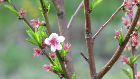 花, 树, 春天, 枝, 桃子, 粉色