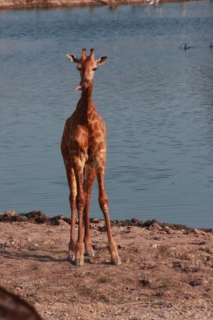 长颈鹿, 河野生动物园, 动物长颈, 草食性