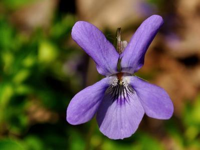 中提琴, 花, 花香, 自然, 紫罗兰色, 春天, 植物