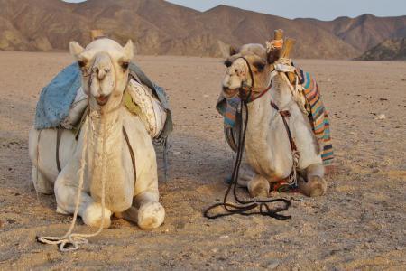 沙漠, 骆驼, 沙漠动物, 沙子, 埃及