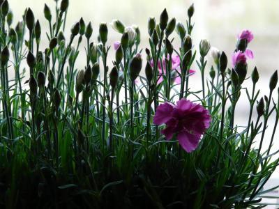 康乃馨, 石竹, 植物, 花, 开花, 绽放, 卵巢