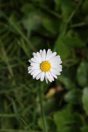 洋甘菊, 黛西, 花, 草甸, 白色, 阳光明媚, 花草甸