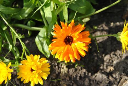 万寿菊, 花, 黄色的花, 花园, 植物, 绽放