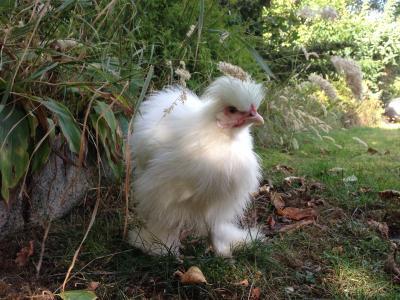 seidenhuhn, 母鸡, 矮脚鸡, 白色, 草