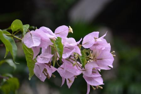 花, 粉色, 粉红色的花, 花, 自然, 布干维尔, 紫色的小花