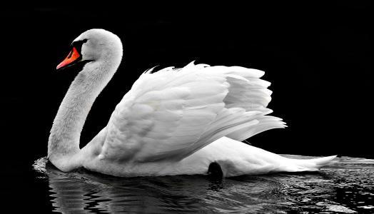 天鹅, 水, 白色, 水鸟, 湖, 自然, 白色的天鹅