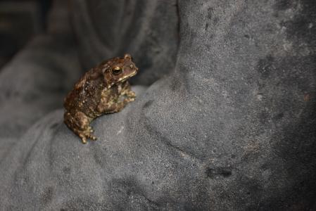 青蛙, 自然, 动物, 两栖类动物, 野生动物, 蟾蜍, 特写