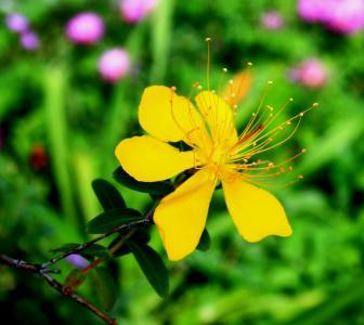 黄丝桃花, 花, 黄色, 讲究, 圣约翰麦芽汁, 药草, 药用