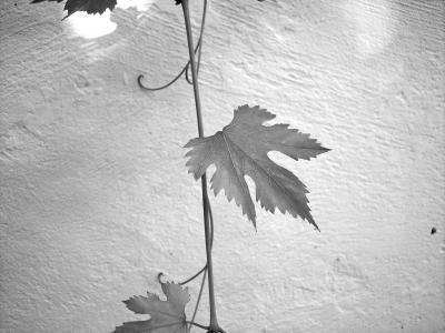 叶, 螺杆, 葡萄酒, 植物, 爬虫, 叶子