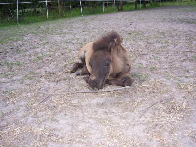 小马, 小马驹, 哺乳动物, 自然, 马, 字段, 动物
