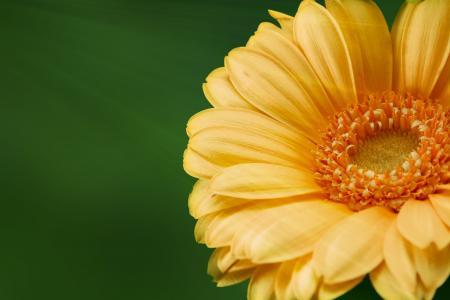 非洲菊, 花, 自然, 黄色的花, 植物, 绽放, 美丽的花