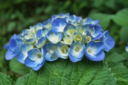 绣球花, 蓝色, 花, 植物, 自然, 夏季, 花香