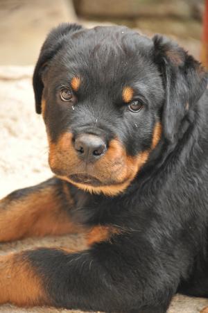 罗威纳犬, cucciola, 狗, uma, 甜, 炮口