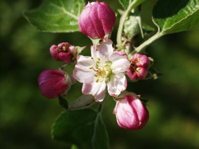 苹果树上的花, 春天, 自然, 粉色, 植物, 分公司, 叶