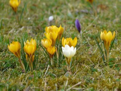 番红花, 花, 春天, 开花, 绽放, 多彩, 颜色