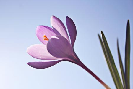 番红花, 花, 花, 春天, 自然, 番红花, 辉煌