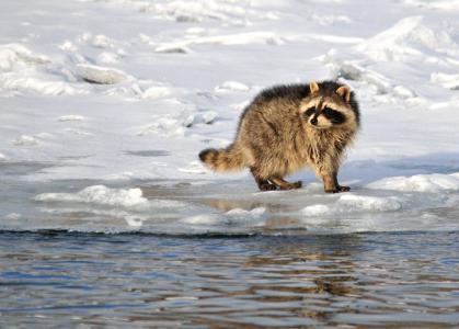 浣熊, 肖像, 野生动物, 水, 雪, 冬天, 感冒