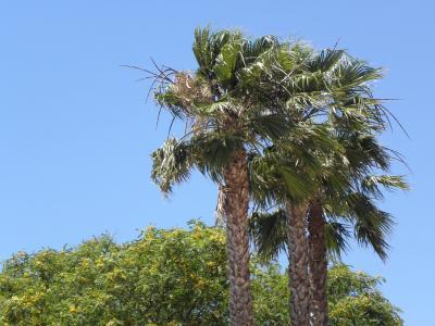 棕榈树, 葡萄牙, 阿尔加维, 棕榈