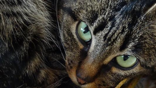 猫, 动物, 猫的眼睛, 动物, 家猫, 毛皮, 宠物