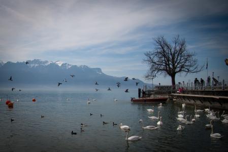 湖, 天鹅, 瑞士, 景观