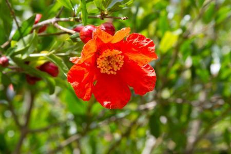石榴, 花, 开花的树, 果树, 红色的花, 植物, 自然