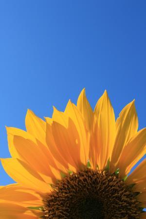 向日葵, 蓝色, 天空, 花, 开花, 夏季, 绽放