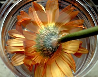 非洲菊, 橙花, 花隔离, 植物区系, 多彩, 开花, 花瓣