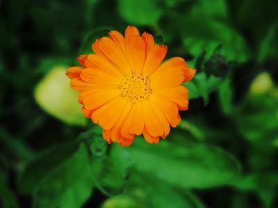 花园, 万寿菊, 夏天花, 花, 植物, 橙色, 花瓣