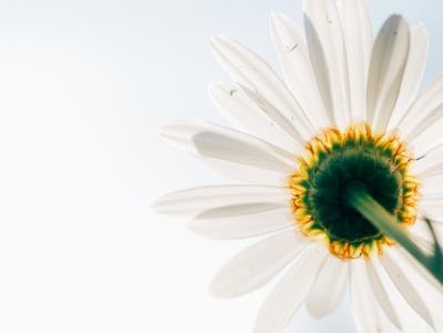 黛西, 花, 植物, 观点, 从下面, 白色, 黄色