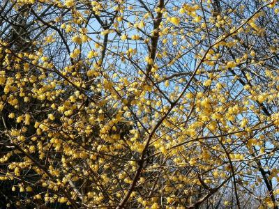 梅花, 知更鸟, 花, 木材, 黄色, 树, 自然