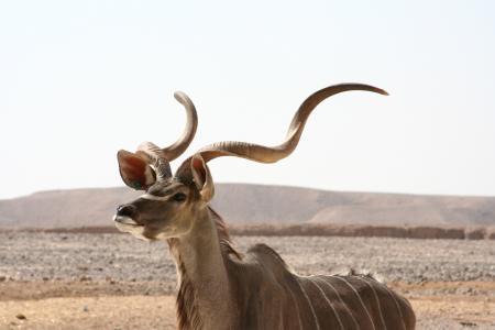 羚羚羊, 非洲, 野生动物, 自然, 警报, 男性