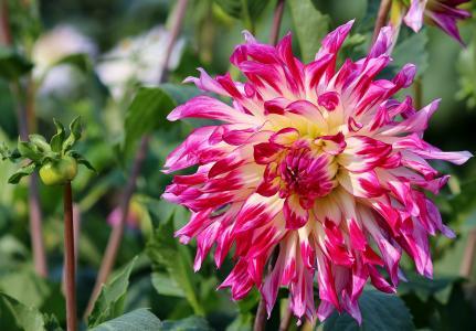 紫苑, 花, 字段, 出售, 选择你自己, 选择, 开花