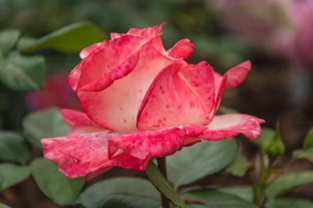 上升, 植物, 花, 玫瑰绽放, 关闭
