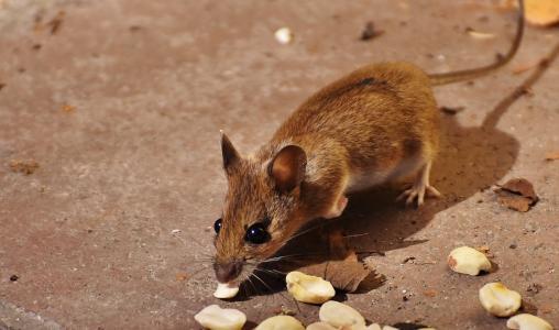 木头鼠标, 经理, 可爱, 小, 棕色, 鼠标, 自然