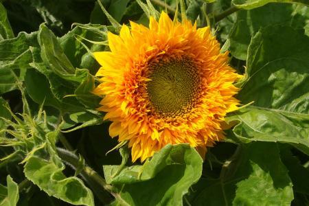 向日葵, 迷你, 花园, 夏季, 花瓣, 园艺, 自然