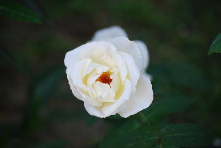 罗莎, 比安卡, 花, 花, fiorita