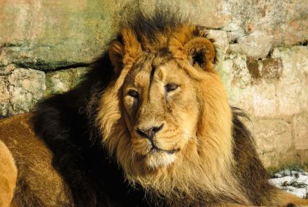 狮子, 捕食者, 猫, 男性, 动物园, 纽伦堡, 鬃毛