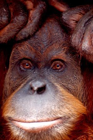 猩猩猩猩, 猴子, 动物园, 墨尔本, 动物, 肖像, 关闭