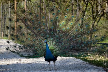 孔雀, 羽毛, 鸟, 孔雀羽毛, 多彩, 动物, 羽毛
