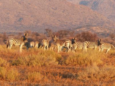 斑马, 动物, 牛群, 草原, 萨凡纳, 野生, 非洲