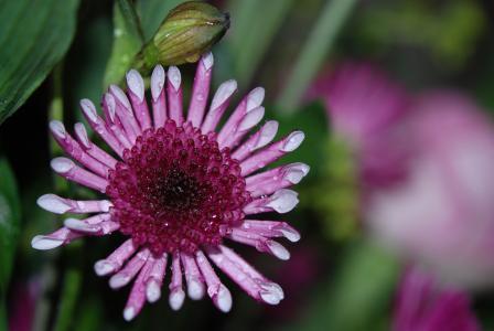 花, 颜色, 丁香, 宏观