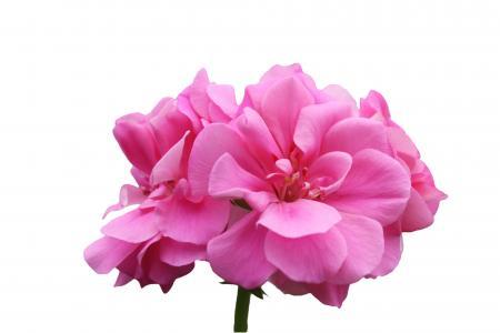 老鹳草, 紫罗兰色, 粉色, 绽放, 开花, 打开, 分离