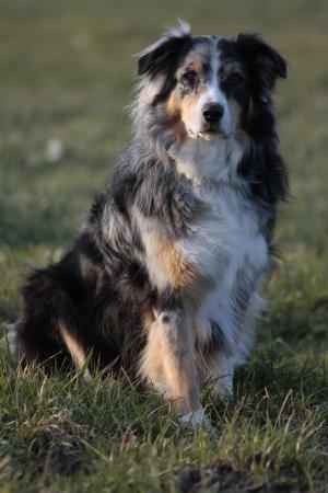 澳大利亚牧羊犬, 狗, 宠物, 动物的画像, 芸石色