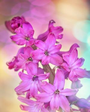 风信子, 花, 花, 植物, 春天的花朵, 粉色, 香
