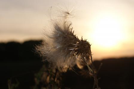 水飞蓟, 太阳, 日落, abendstimmung